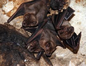 Na gradu Rihemberk gnezdi kar devet vrst netopirjev