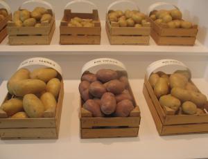 Sortni izbor krompirja 2015