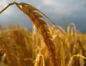 Letošnji pridelek žit večji kot lani, na njivah še naprej prevladuje koruza