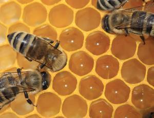 Slovenski pobudi za svetovni dan čebel podporo napovedalo že 136 držav