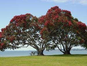 Novozelandsko božično drevo