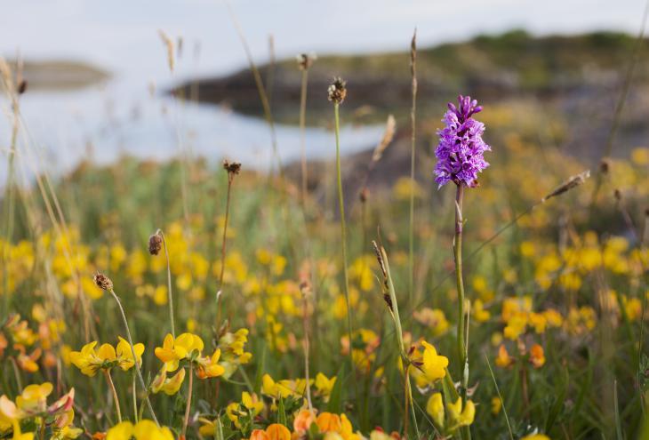 Orhideja na obali norveškega Helgelanda, lep kontrast navadni nokoti. - Foto: Shutterstock