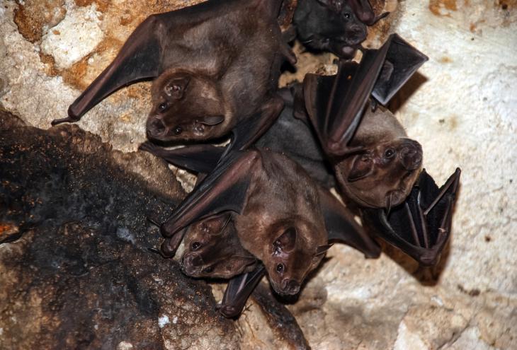 V Evropi živijo le predstavniki malih netopirjev, ki pripadajo vsaj 32 vrstam od 1116 vrst, ki so jih do zdaj odkrili v svetu. V Sloveniji je bilo do zdaj najdenih kar 30 vrst netopirjev, devet jih gnezdi na gradu Rihemberk nad Branikom. - Foto: Shutterstock