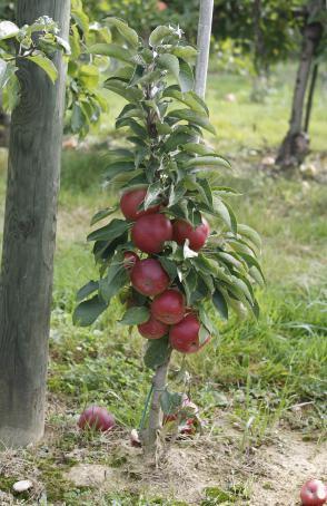 Kako s stebričastimi in pritlikavimi sadnimi drevesi Slika 2