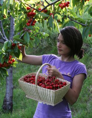 Sajenje sadnega drevja: Pri nakupu sadik vprašajte, ali je sorta samooplodna ali ne Slika 1