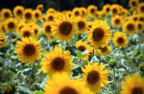 Čebelarji spodbujajo sajenje sončnic Slika 2