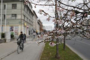 Cvetenje dreves pred zimo je alarm Slika 1