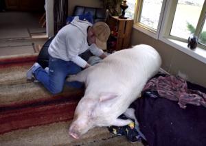 130-kilogramska pujska kot hišni ljubljenček Slika 1