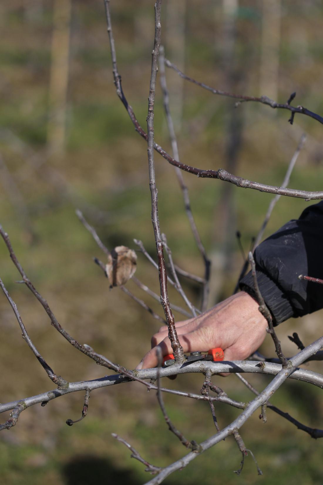 Pri vseh sadnih drevesih izrezujemo navpične poganjke, ki rastejo s hrbta veje. Izrežemo jih do osnove.