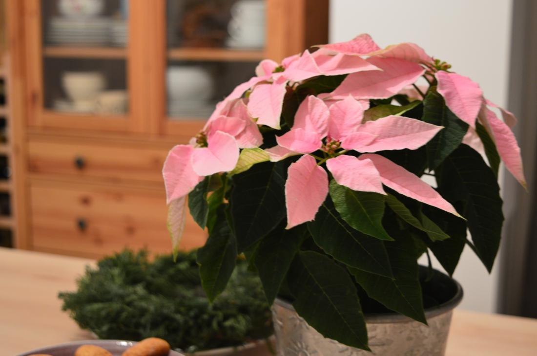Božična zvezda je lahko tudi rožnata.