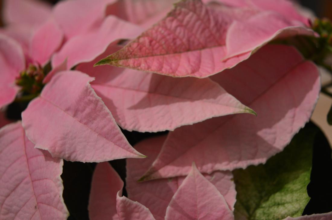 Lažni cvet predstavlja skupina obarvanih ovršnih listov.