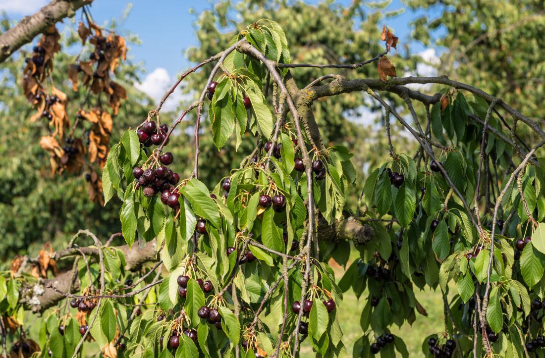 Cvetna monilija ogrozi pridelek in drevo. Gliva prodre v rastlino skozi cvet, če dežuje. FOTO: Shutterstock