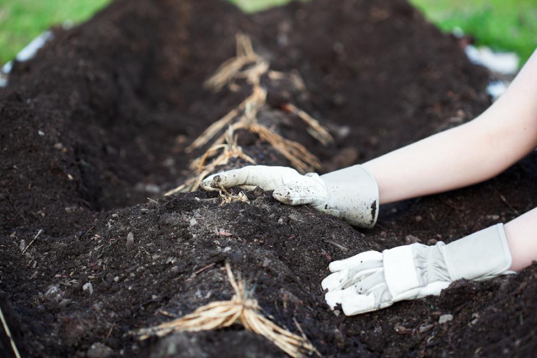 Korenike sadimo v kanale in jih postopoma zagrinjamo s prstjo. FOTO: Shutterstock