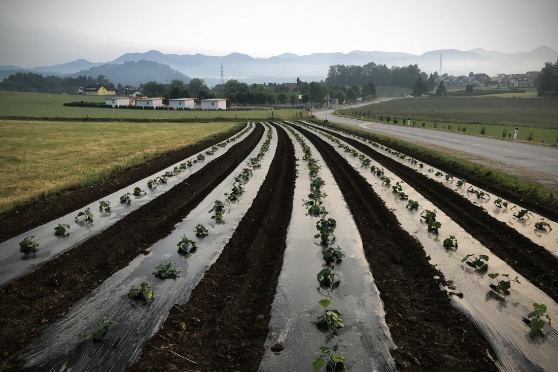 V Sloveniji bi morali najti povezovalne poti, ki bi pridelek kmetov spravile v prodajne mreže (FOTO: Jure Eržen):