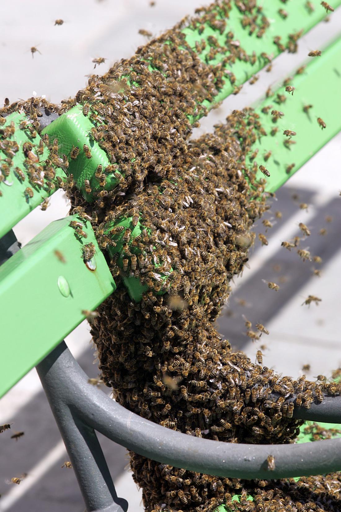 Obilna paša spodbudi čebele k rojenju. Roj na fotografiji je posedel na klop pred ljubljansko mestno hišo (FOTO: Marvric Pivk).