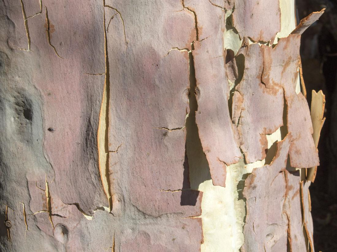 Eucalyptus citriodora FOTO: alybaba/Shutterstock