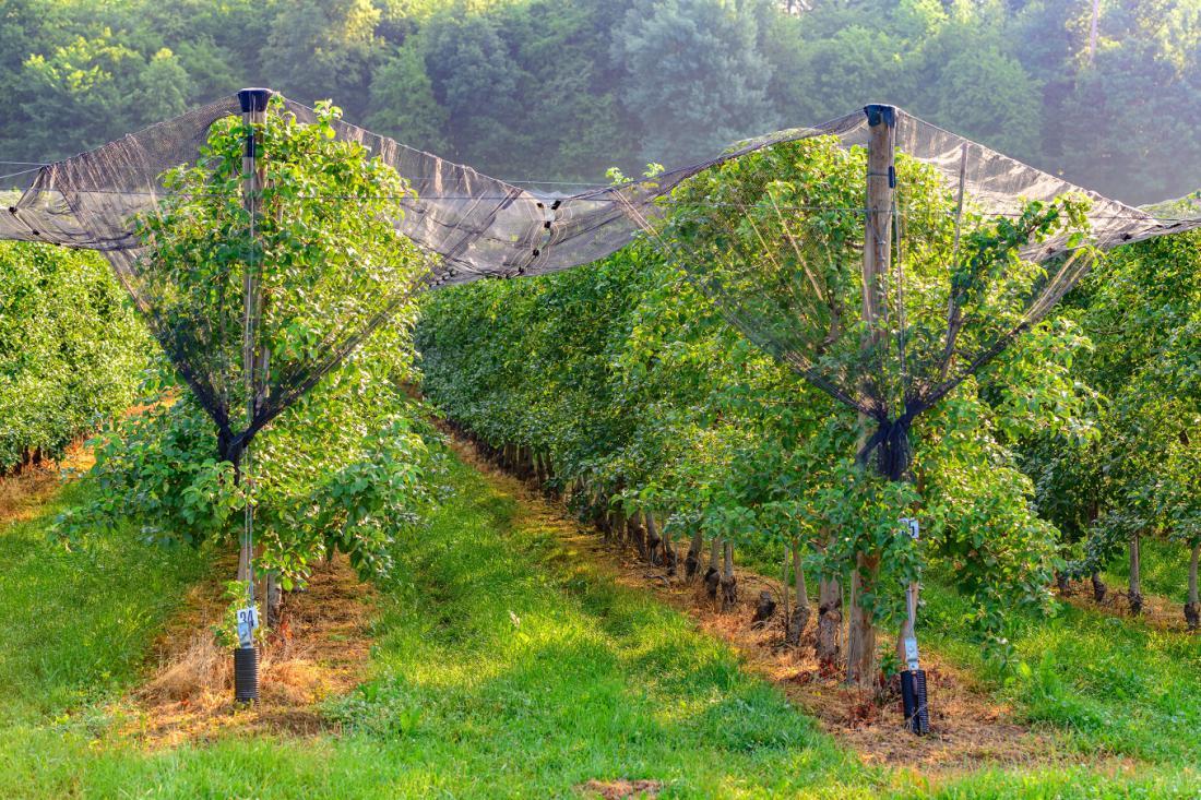 Tako ščitijo pred točo v profesionalnih sadovnjakih. Če imate nižja drevesa, si lahkopodobno konstrukcijo za mrežo omislite tudi v vrtnem sadovnjaku. FOTO: Andrej Safaric/Shutterstock