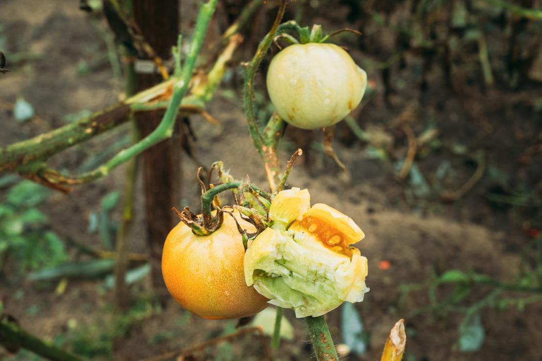 Pri plodovkah poberemo vse poškodovane in nepoškodovane plodove, da bo imela rastlina več energije za obraščanje. FOTO: Grisha Bruev/Shutterstock