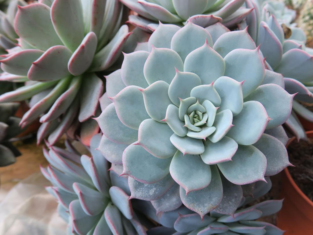 Ameriški netresk (Echeveria sp.) FOTO: LADDAWAN photo/Shutterstock