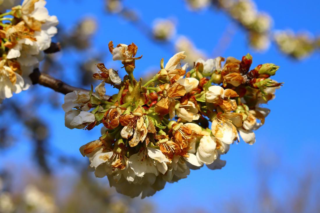 Pozebli cvetovi češnje. Foto: Somogyi Laszlo/Shutterstock