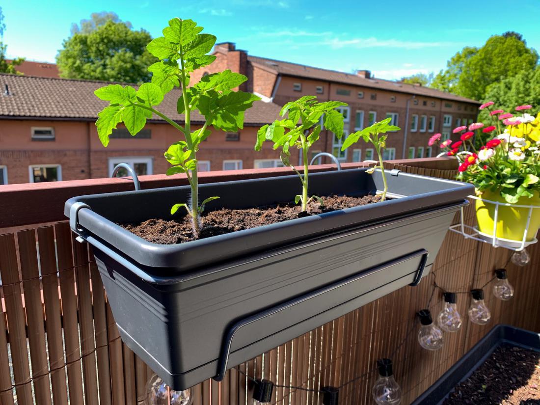 V tem koritcu je vsaj ena sadika paradižnika preveč. Na balkonu bo bolj zdrav, če bo pod streho. Foto: Lapa Smile/Shutterstock