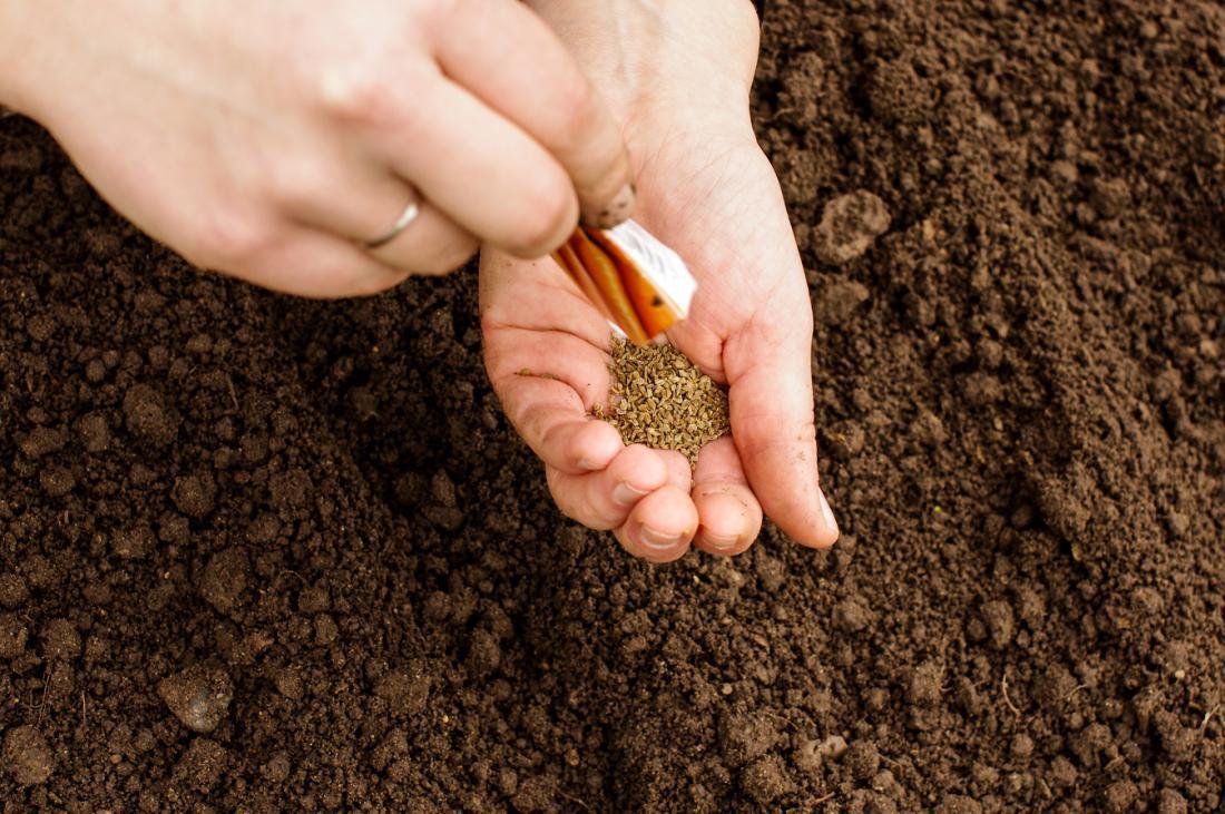 Pri tako drobnem semenu, kot je korenčkovo, mi setev drugače kot z golimi rokami ne pride na misel. Če ga pomanem, zadiši kot eleganten parfum. Foto: Audrius Merfeldas/Shutterstock