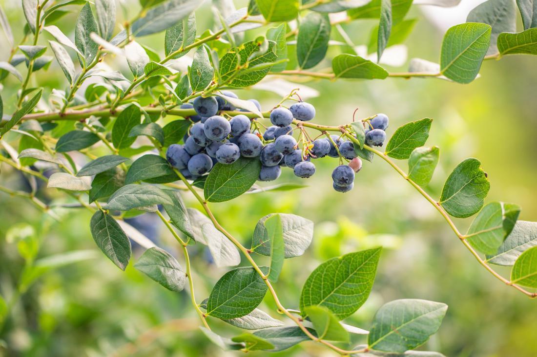 Ponekod pozeba ni vzela ameriških borovnic. Foto: Simon Kadula/Shutterstock