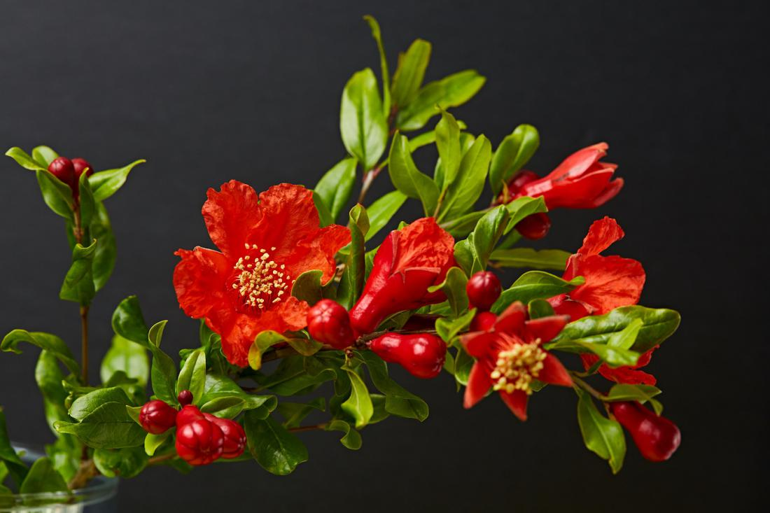 Zvezdasti cvetovi so najpogosteje po trije skupaj. Foto: By Valeriya Zankovych/Shutterstock