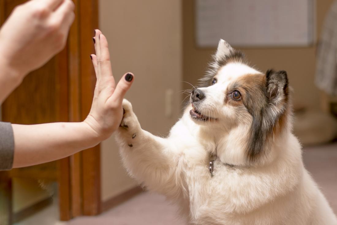 Pes se običajno zelo hitro nauči dati petko. FOTO: Corey Terrill/Shutterstock