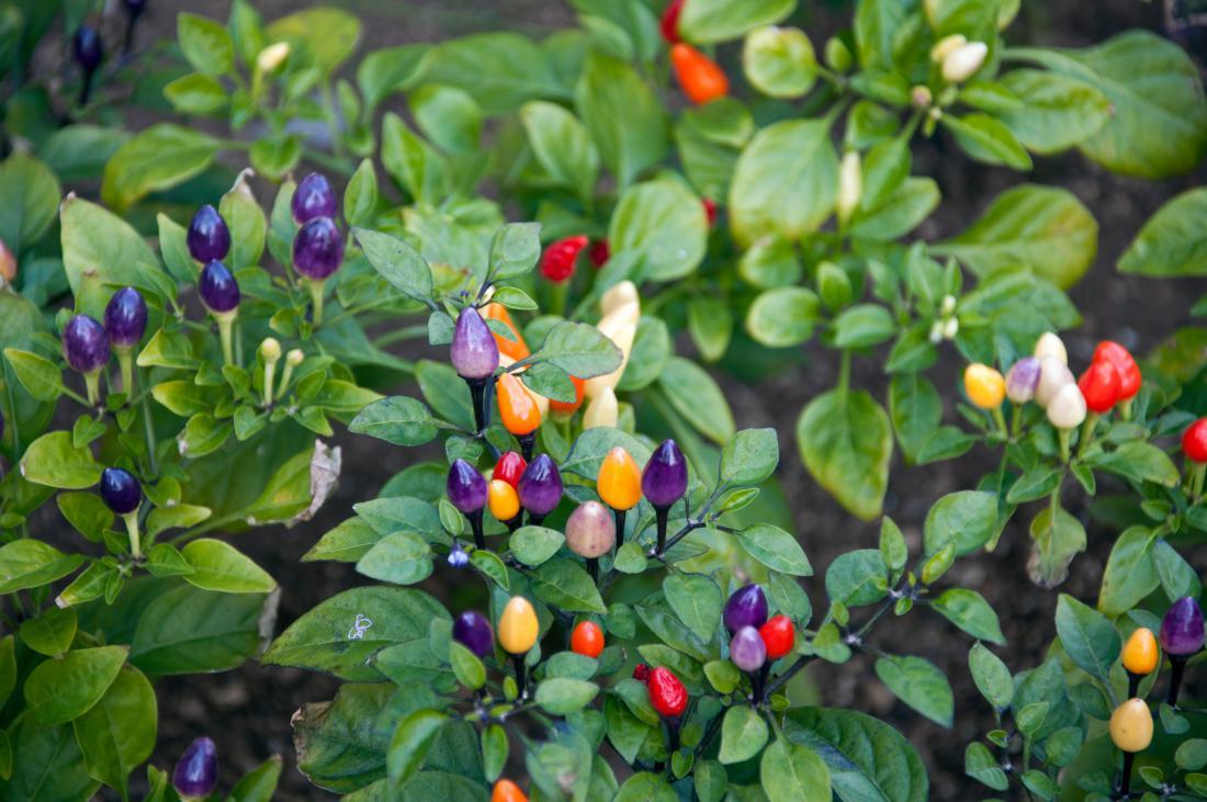 Sorta bolivian rainbow, ki zori v mavričnih barvah, je lahko tudi okrasna rastlina za lonec. Foto: Yunorina/Shutterstock