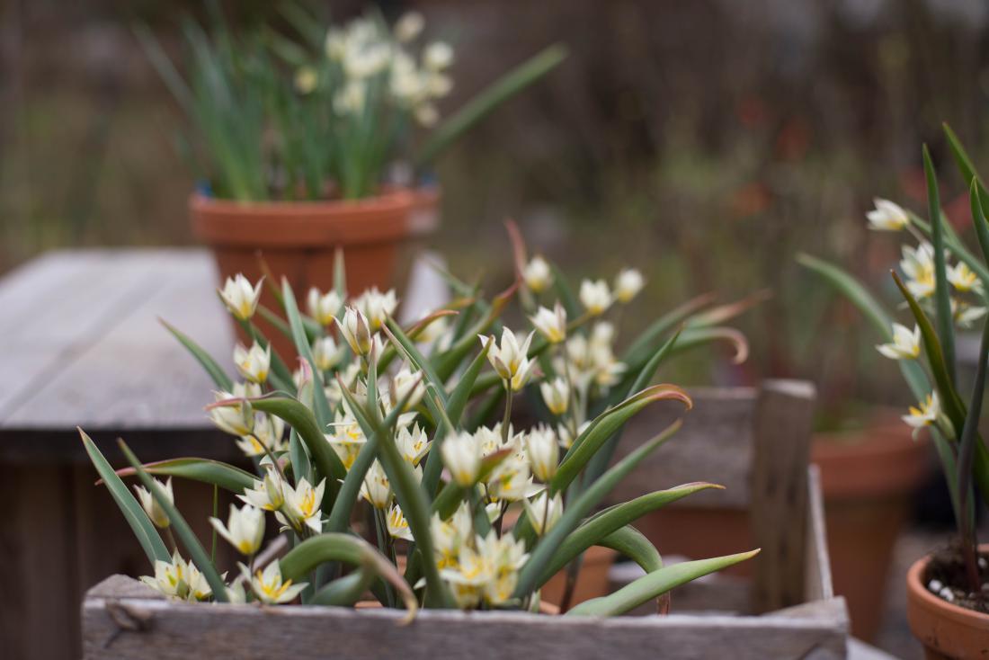Eden izmed prekrasnih botaničnih tulipanov.