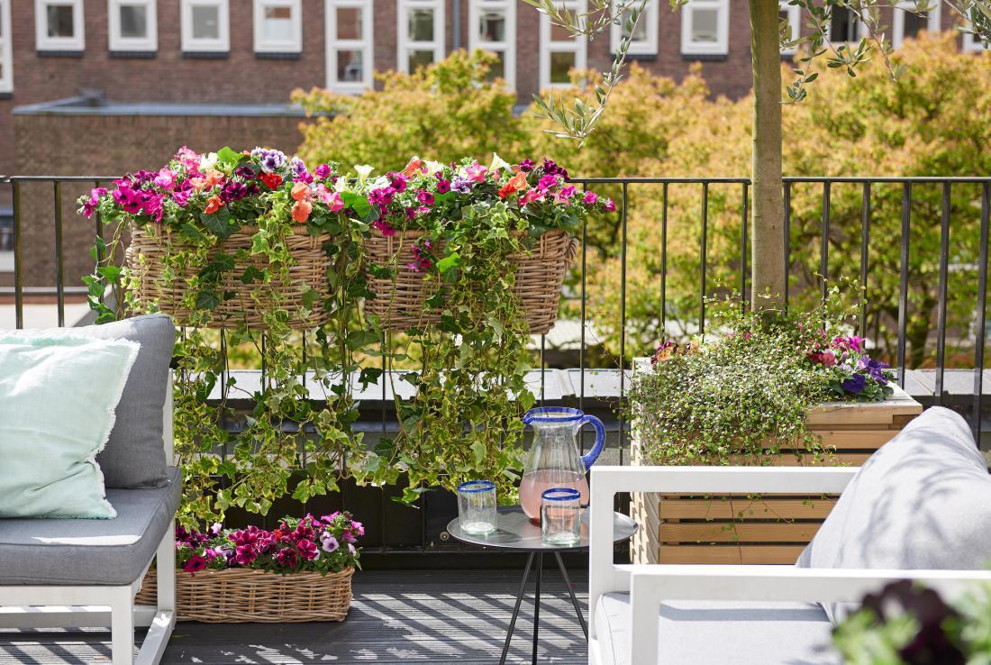 Zasaditev s petunijami v različnih barvah, družbo jim dela bršljan. Če želite slediti smernicam, lahko balkonsko cvetje postavite v pletene košare (FOTO: Flower Council of Holland).