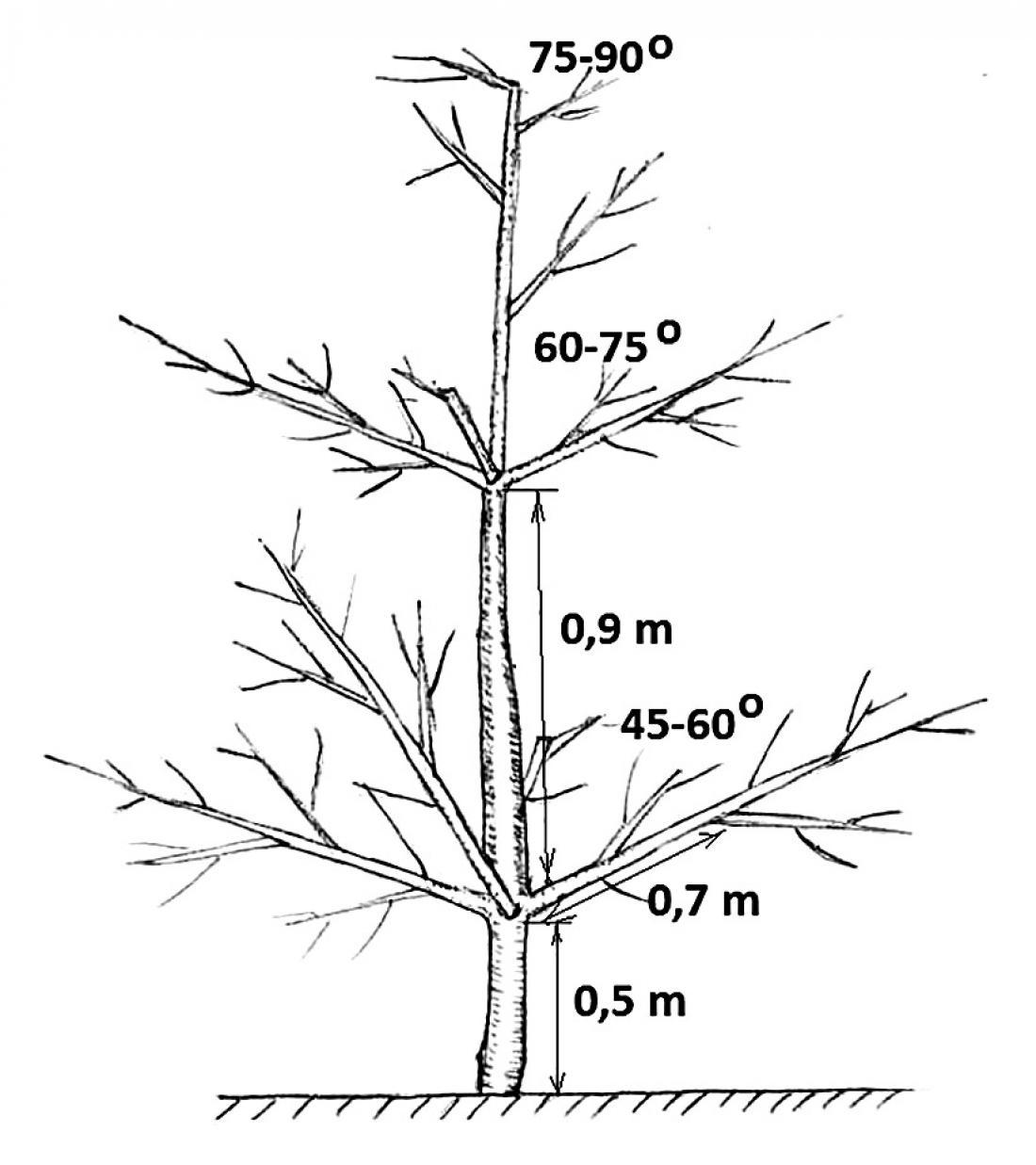 Piramidna gojitvena oblika