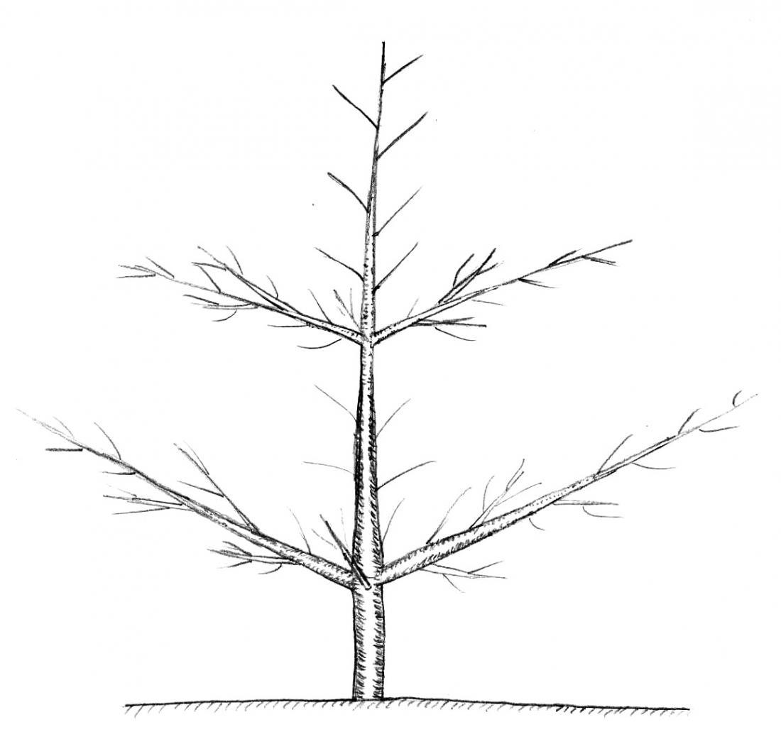 Gojitvena oblika palmete