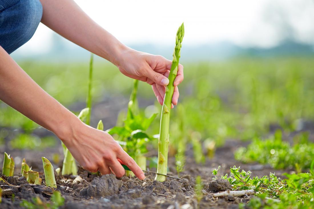 Zelene šparglje režejo tik pri tleh dvakrat ali trikrat na teden.