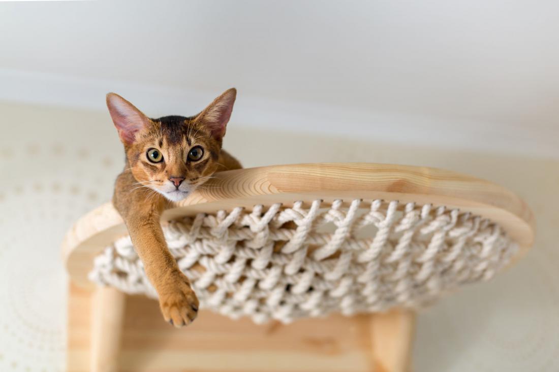 Abesinka Foto: Natalia Tretiakova/Shutterstock