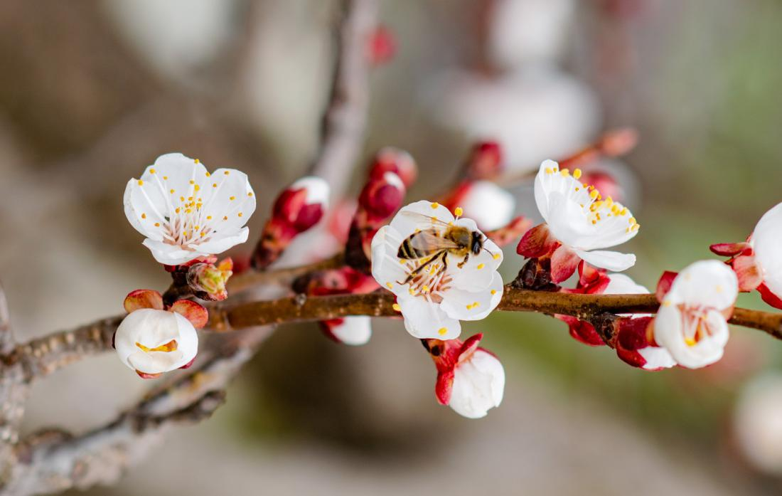 Ko večina sadnega drevja šele brsti in je čas za škropljenje, marelica v bližini že cveti. Zato nikoli ne škropimo podnevi, ko so čebele dejavne! Foto: Abrym/Shutterstock