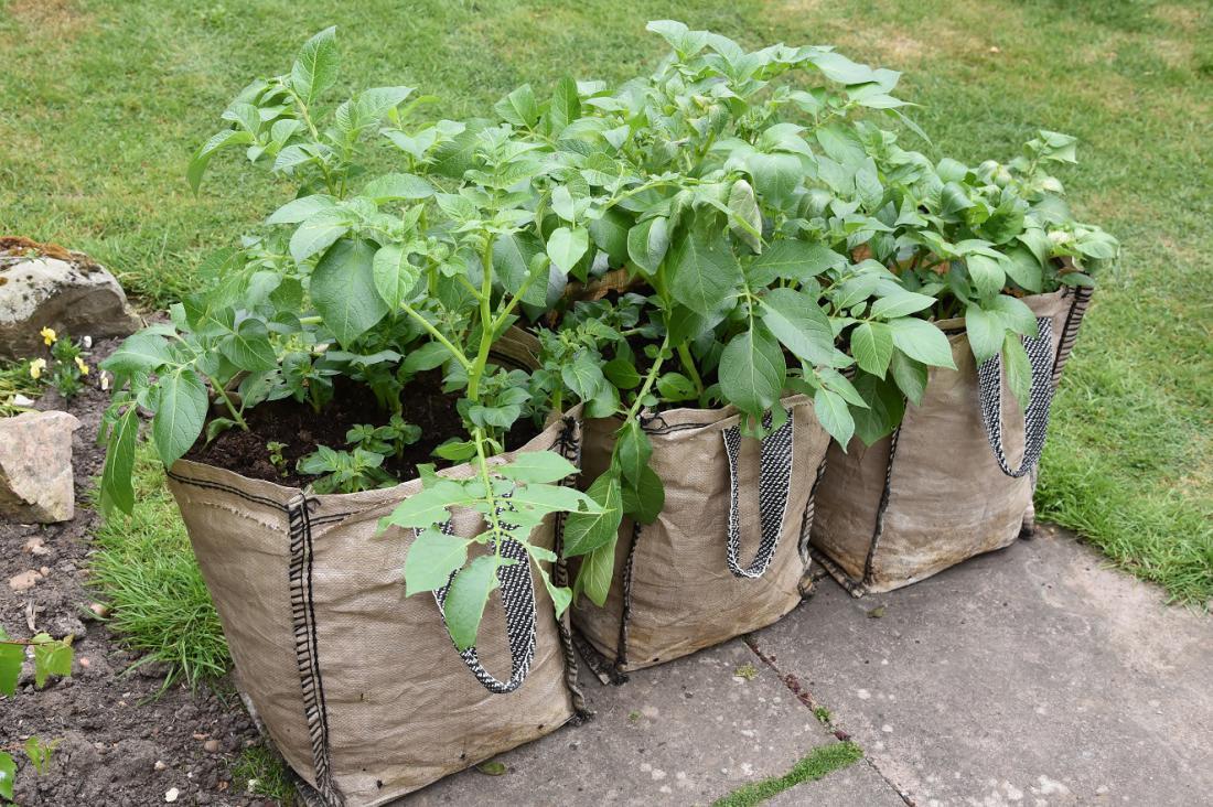 V visokih vrečah za gojenje vrtnin lahko pridelamo celo nekaj krompirja. Foto: Angela Lock/Shutterstock