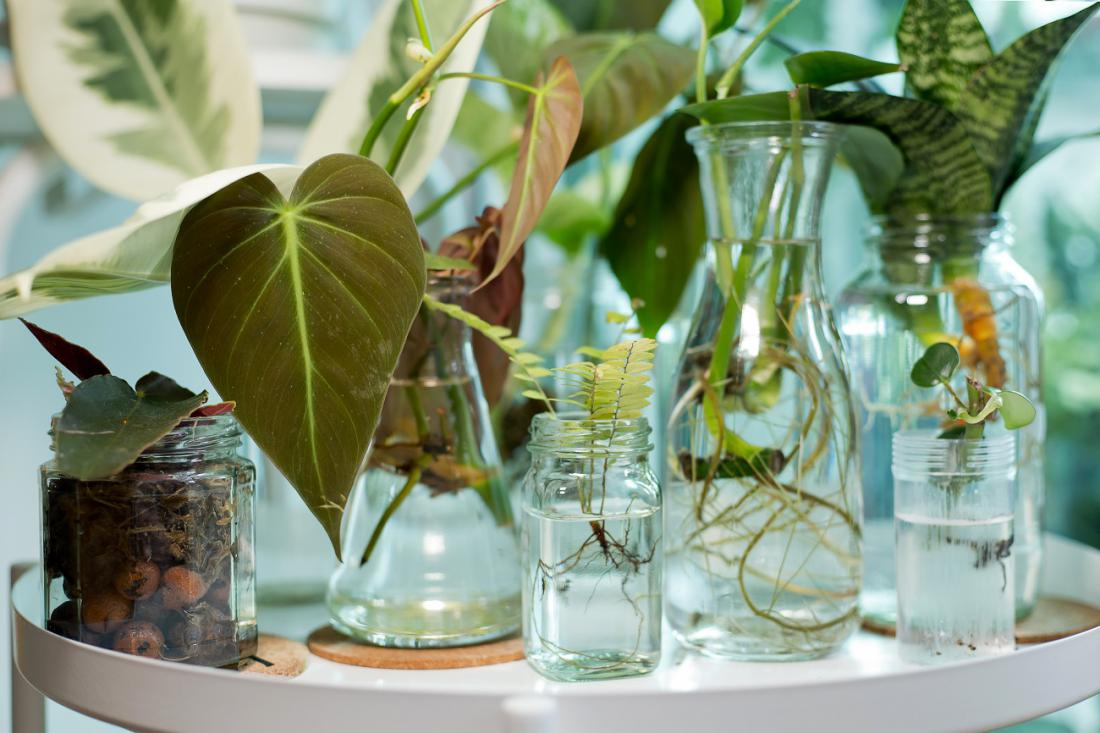Pri sobnih rastlinah je priljubljeno potikanje poganjkov v vodo. Foto: AngieYeoh/Shutterstock