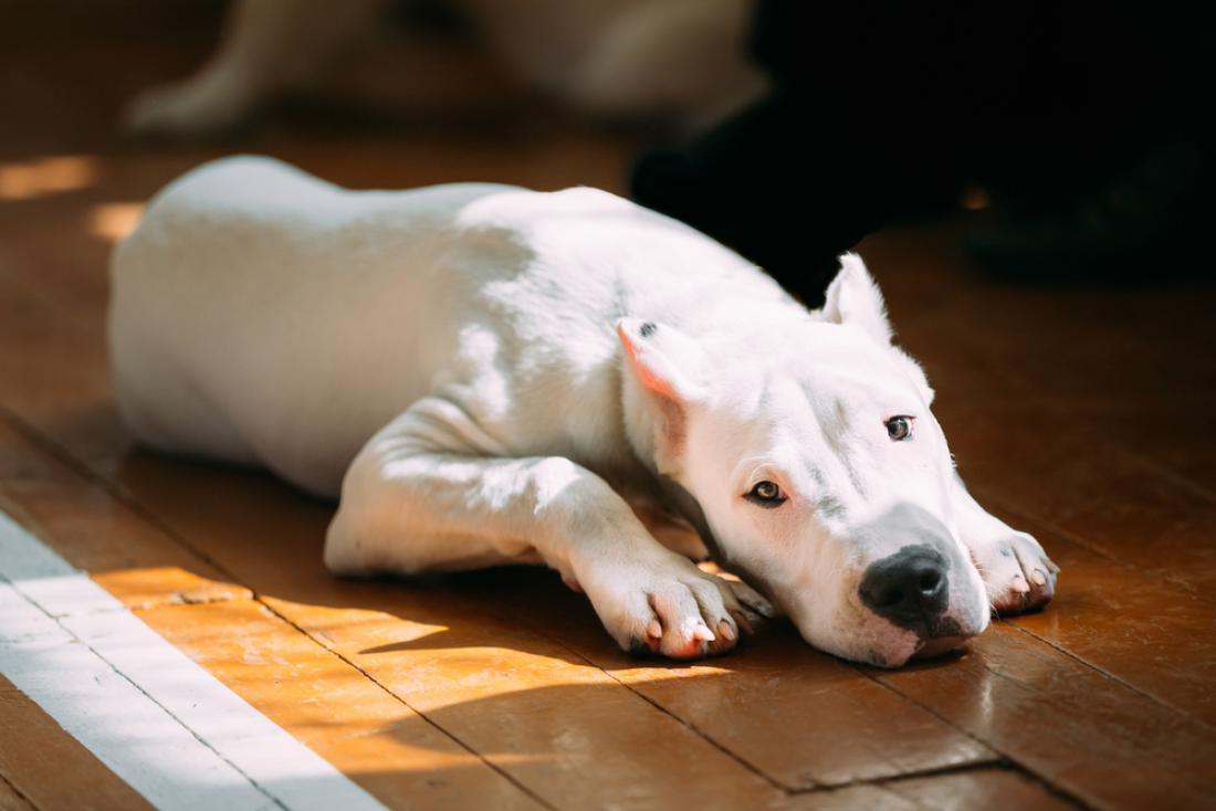 Argentinska doga. FOTO: Shutterstock
