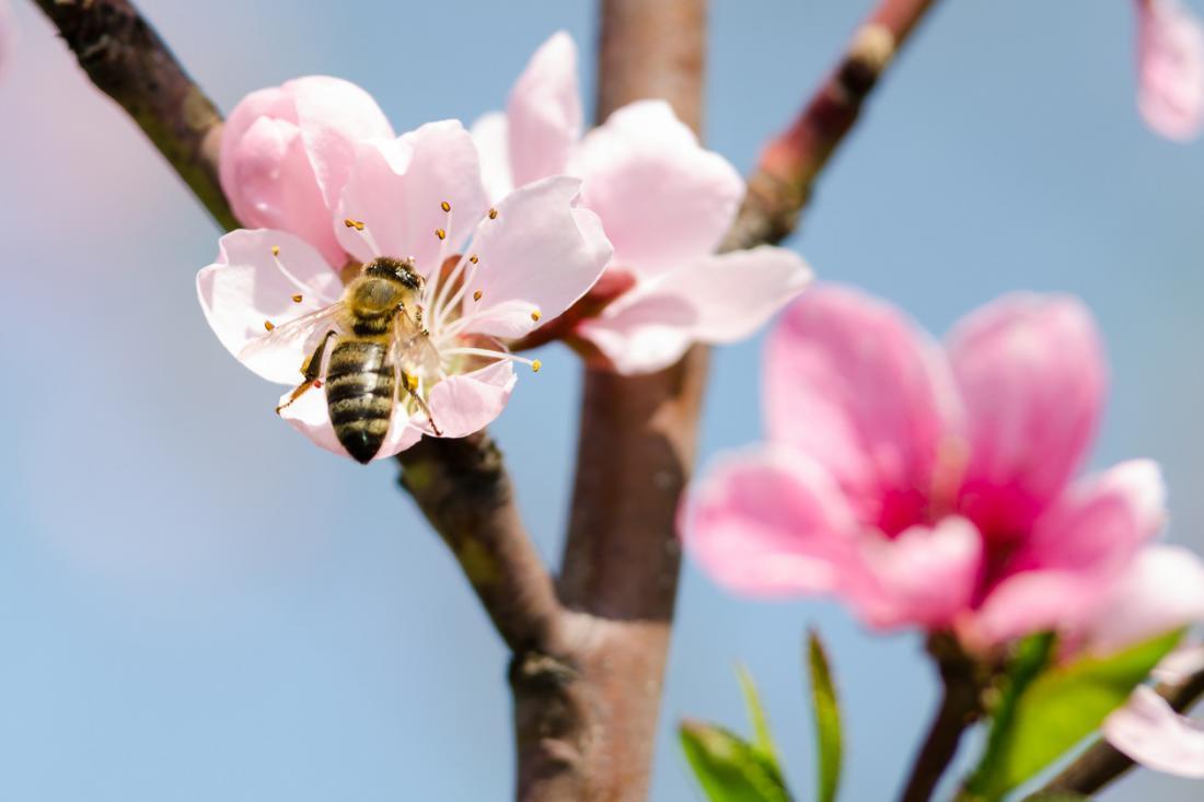 Ko bo nevarnost pozebe mino, bo treba drevesa zaradi opraševalcev odkriti. Foto: Shutterstock