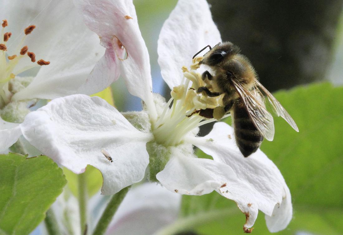 V času, ko cveti sadno drevje, imajo čebele veliko dela in hrane. FOTO: Leon Vidib