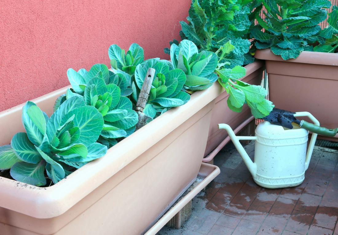 Kapusnice rastejo dolgo, zato izberite vrste za obiranje listov. Foto: ChiccoDodiFC/Shutterstock