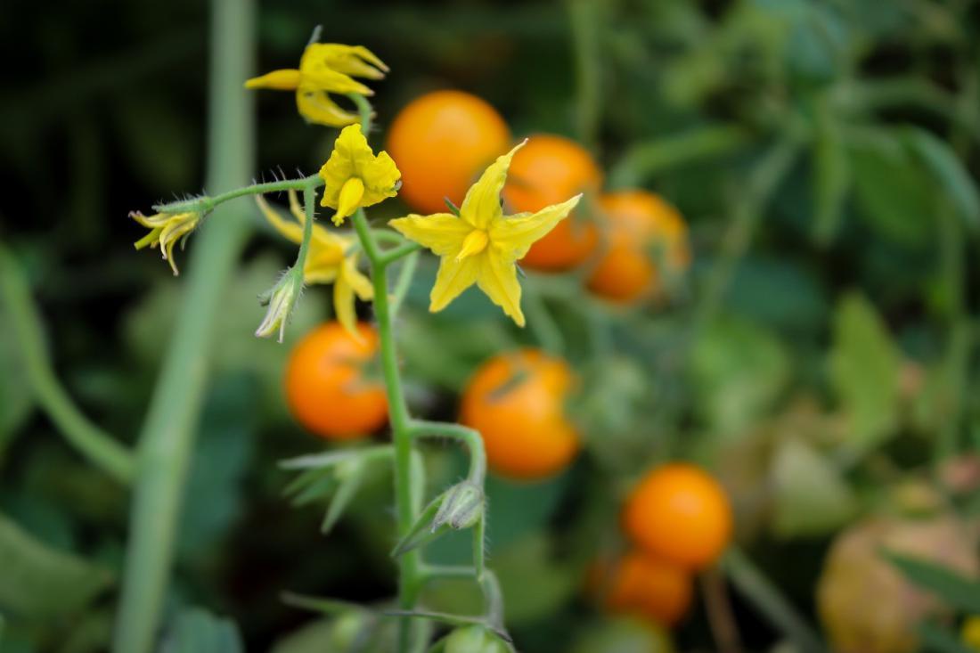 V začetku septembra je skrajni čas, da paradižniku odrežemo vrh s cvetovi, da gredo hranila v dozorevanje plodov. Foto: Amanda TQ/Shutterstock