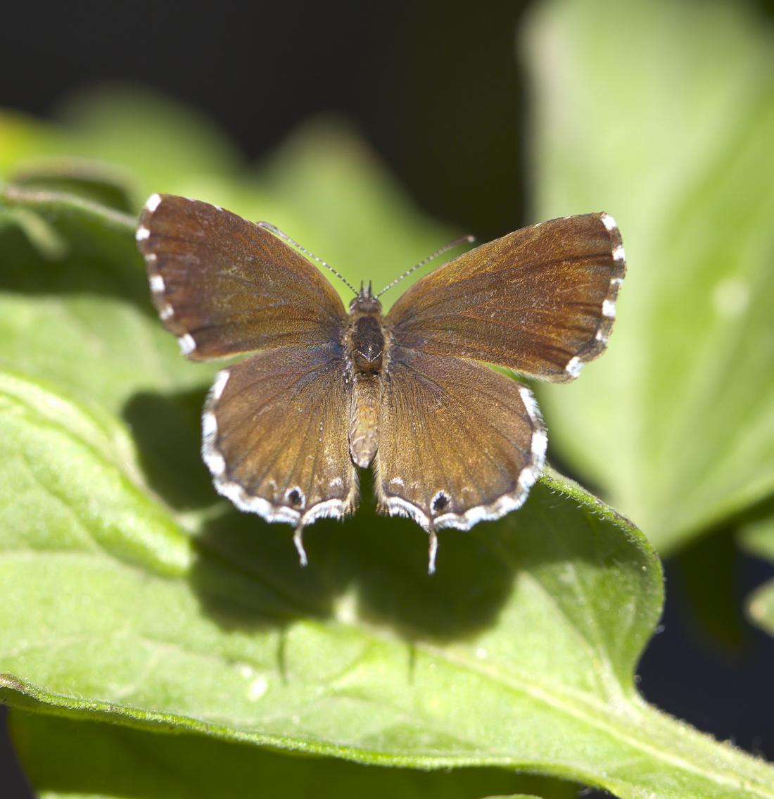 Pelargonijev bakrenček (Cacyreus marshalli)