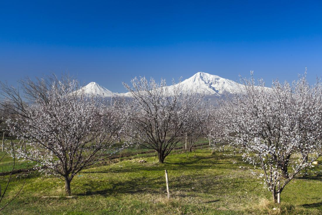 V Turčiji so največji nasadi marelic na svetu. Na fotografiji neskončni sadovnjaki na planoti pod najvišjo turško goro Ararat.