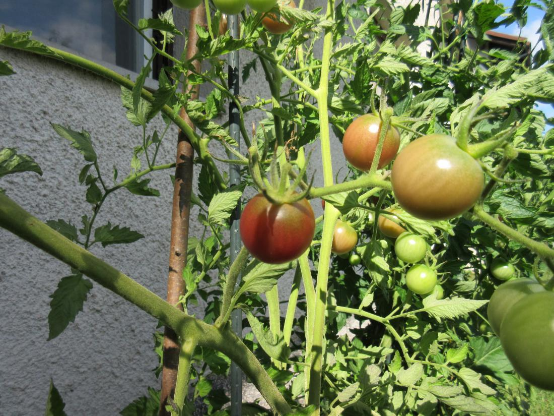 Pri zelo dolgih poganjkih plodovk pripomore k dozorevanju plodov uporaba listnih gnojil. Foto: Klub Gaia