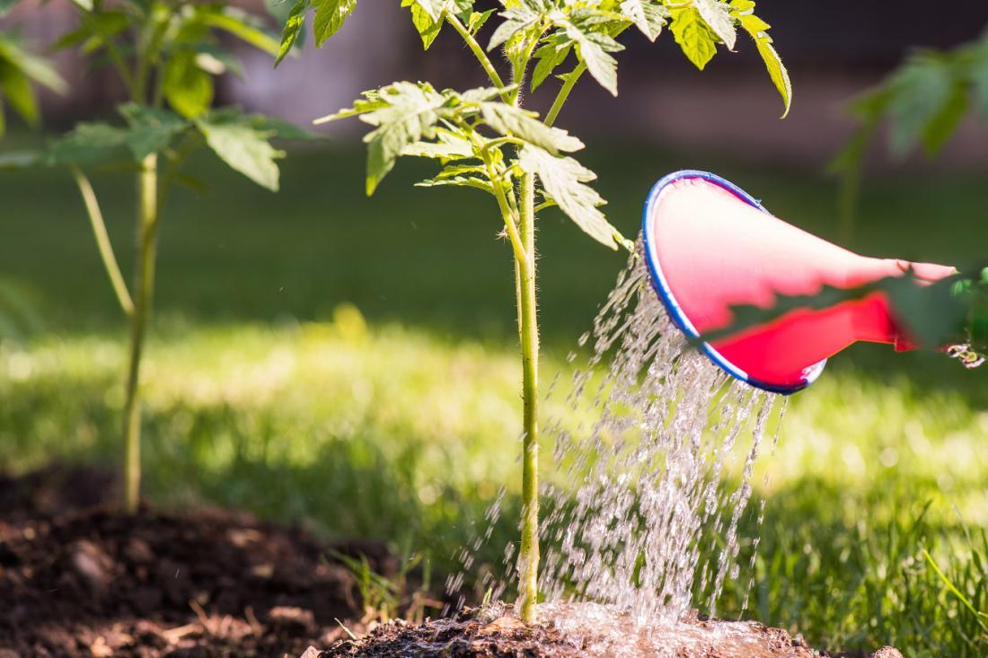 Paradižnika ne zalivamo po listih, saj vlaga spodbuja glivične bolezni. Foto: Foto: kostic/Shutterstock