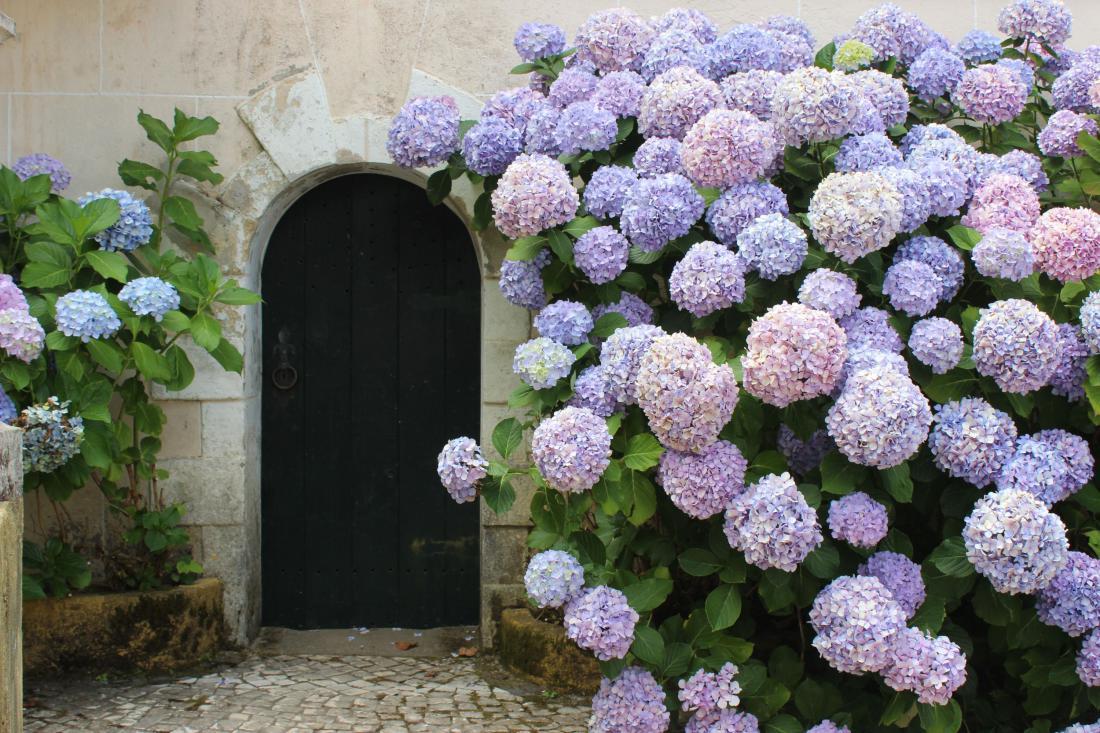 Velikolistna hortenzija Foto: Diana Elfmarkova/Shutterstock