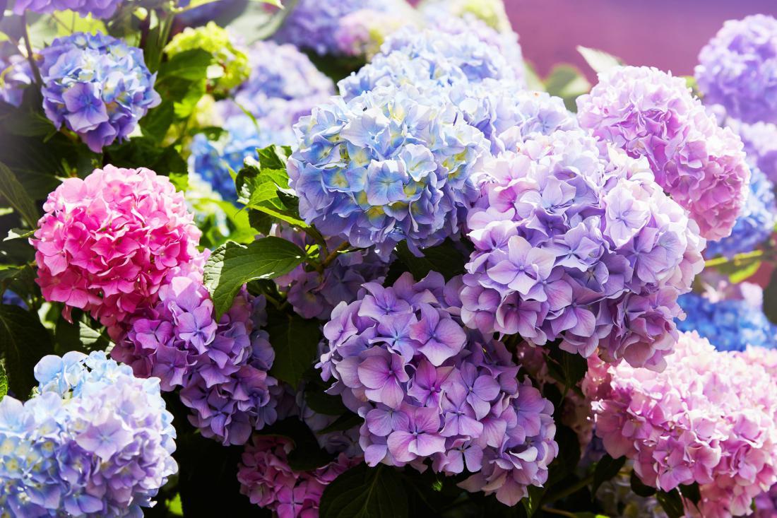 Hortenzija, foto: Shutterstock